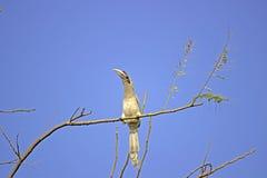 Hornbillfågel Royaltyfria Bilder