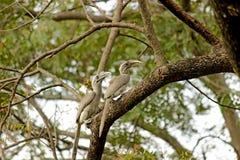 Hornbillfågel Royaltyfri Bild