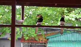 Hornbillfågel på trähusstrukturen arkivbild