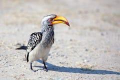 Hornbillfågeln med den ljusa gula näbb står på jordslutet upp på safari i den Chobe nationalparken, Botswana, sydliga Afrika fotografering för bildbyråer