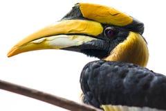 Hornbillfågelprofil Arkivfoto