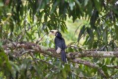 Hornbillfågelställning på trädet Royaltyfri Bild