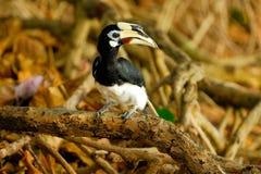 Hornbills royaltyfri bild