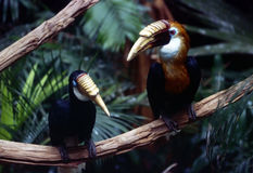 Hornbills. Pair of Hornbills royalty free stock image