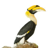 Hornbills bird on white background Royalty Free Stock Photography