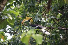 A wild hornbill Bucerotidae sitting in the tree and is looking for food royalty free stock photography