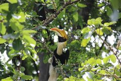 A wild hornbill Bucerotidae sitting in the tree royalty free stock photos