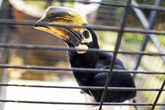Hornbills in cage Royalty Free Stock Photography