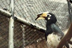 Hornbills do pássaro Fotografia de Stock Royalty Free