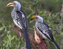 Hornbills faturados amarelo - parque nacional de Nwanetsi Kruger Imagem de Stock Royalty Free