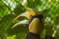 Hornbills with a hollowed head on the top. Hornbills are large birds with a prominent thick beak and a hollowed head on the hollow stock photo