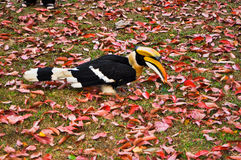 Hornbills on the lawn and red leaf. Hornbills on the red leafs background royalty free stock photo