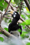 Hornbills in a tree Stock Photos