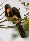 Hornbillsammanträde i ett träd Arkivbilder