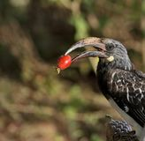 Hornbillvogel mit roter Beere in seinem Schnabel lizenzfreie stockfotos