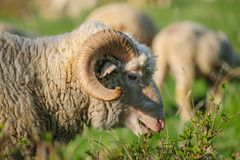 Horned взрослая овца ест траву женщина портрета стороны крупного плана Стоковая Фотография RF