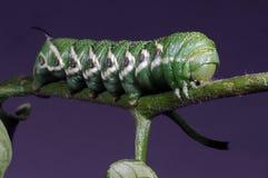 horned гусеницы зеленое Стоковые Фотографии RF
