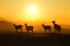 Horned козы на заходе солнца Стоковое фото RF