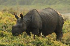horned молодость rhinoceros индейца одного Стоковое Фото