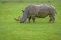 2-horned носорог Стоковые Изображения