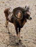 Horned овцы в выгоне Стоковая Фотография