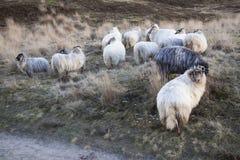 Horned овцы и желтая трава на причаливать около Zeist в neth Стоковая Фотография