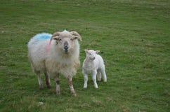 Horned овцы и младенец матери в Ирландии Стоковое фото RF