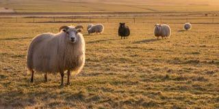 Horned овцы пася в поле на заходе солнца Стоковые Изображения RF