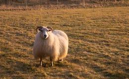 Horned овцы пася в поле на заходе солнца Стоковая Фотография RF