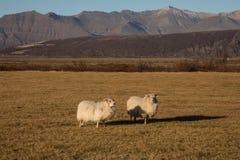 Horned овцы пася в поле на заходе солнца Стоковые Фотографии RF