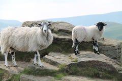 2 Horned овцы Стоковые Фотографии RF