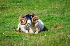 Horned овцы Стоковая Фотография