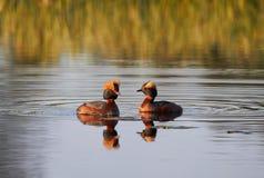 2 Horned поганкового в озере Стоковые Изображения RF