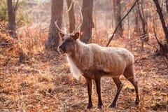 Horned северный олень Стоковые Изображения