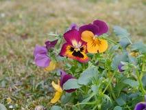 Horned фиолет Стоковое Изображение