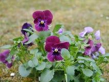 Horned фиолет Стоковое фото RF