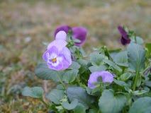 Horned фиолет Стоковая Фотография RF