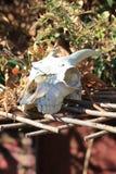 horned череп головы козы на платформе lattace деревянной с травами Стоковые Изображения