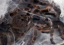 Павиан взрыва Horned хищник засады Стоковое Фото