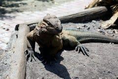 Большая horned ящерица Стоковая Фотография