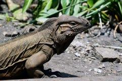 Морщинистый horned дракон Стоковое Фото