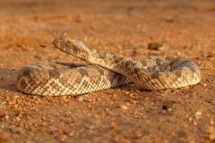 Horned adder. (Bitis caudalis) in defensive position, Namibia, southern Africa Stock Photography