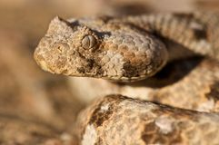 Horned adder. Bitis caudalis known as the horned adder is a small member of the puffadder family. Native to Namibia, these snakes are passive desert hunters and Stock Photography