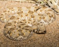 Horned adder in Namibia. Venemous horned adder flicking tongue in Namib desert royalty free stock photos