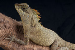 horned agama Royaltyfri Bild