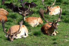 Horned animals resting. Several wild animals with horns, resting in a grassy area Stock Image