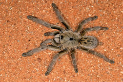 Horned baboon spider stock image