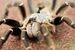 Horned Baboon Tarantula Royalty Free Stock Images