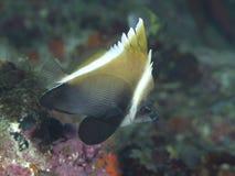 Horned bannerfish Стоковое фото RF