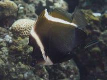 Horned bannerfish Стоковые Фото